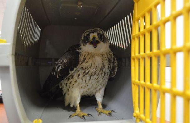 Прохожие спасли наМосковском проспекте раненую птицу изКрасной книги
