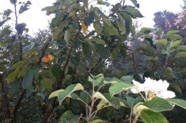 Яблони вКупчине зацвели теплой осенью