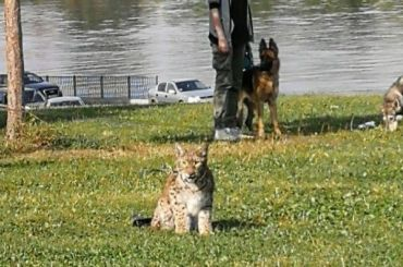 Петербуржец выгулял рысь наберегу Невы