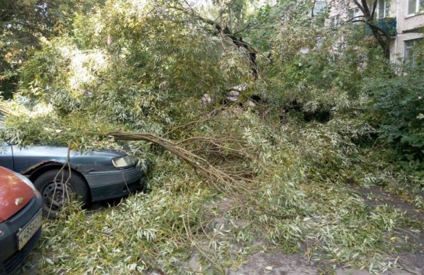 Сильный ветер повалил дерево надва автомобиля вгороде Колпино