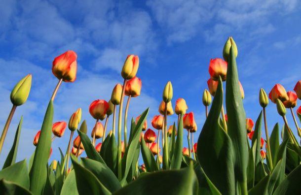 Петербургский фестиваль тюльпанов вошел вдесятку лучших вмире