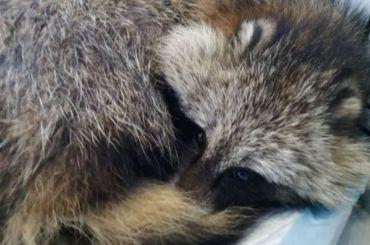 Волонтеры «Велеса» рассказали оздоровье спасенной енотовидной собаки