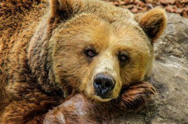 Медведь напал нациркового артиста вКарелии