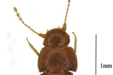 Нового жука назвали Гретой Тунберг