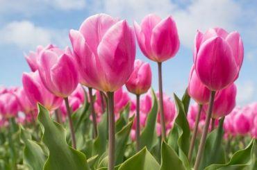 Школьники высадят четыре тысячи луковиц тюльпанов вЛетнем саду
