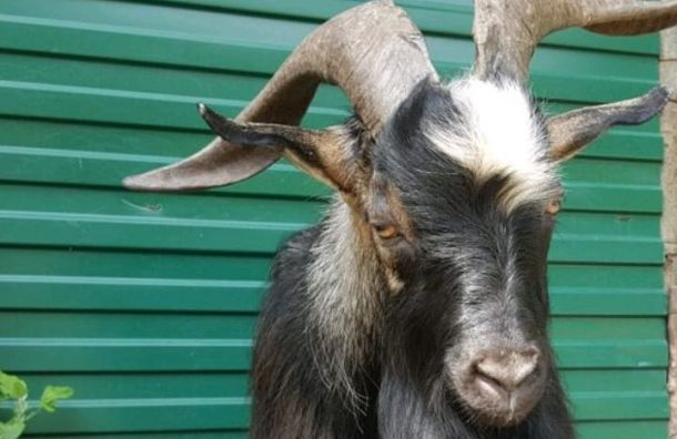 Скончался козел Тимур, друживший стигром Амуром