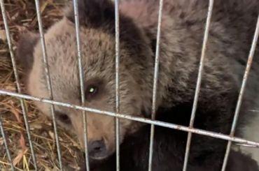 Охотнадзор просит неловить пугающего дачников медвежонка