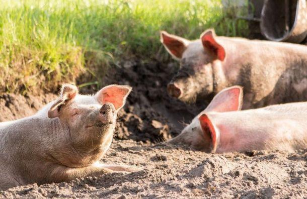 ВКупчино надороге лежали три свиных туши