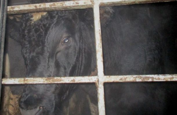 Петербург лишился 20 тонн куриного мяса, 400кг лосося итрех коров