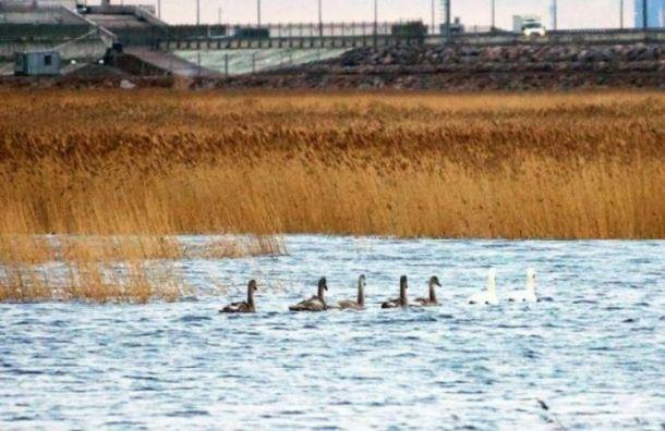 Петербуржцы заметили стаю лебедей вФинском заливе
