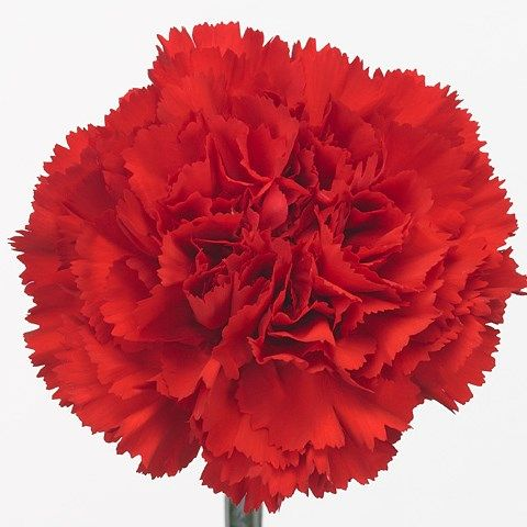Carnation-Don-Pedro-65cm.jpg