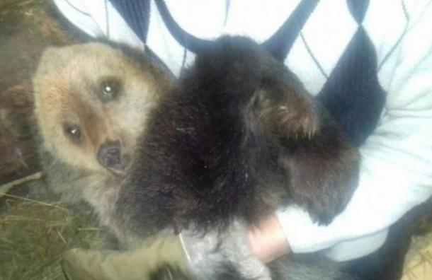 Волонтеры прекратили поиски сбежавшего вЛенобласти медвежонка