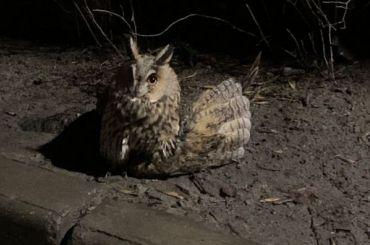 Сломавшую крыло сову спасли вПушкине