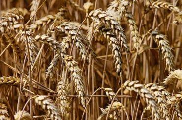 Из-за аномальной зимы Петербург иЛенобласть могут лишиться зерна