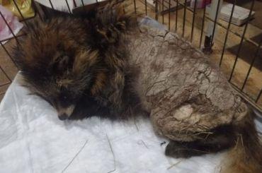 Енотовидную собаку отправили лечиться впетербургский центр «Велес»