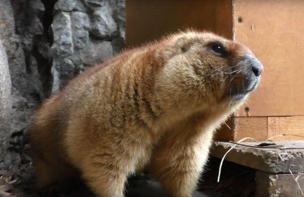 ВЛенинградском зоопарке оживились сурки