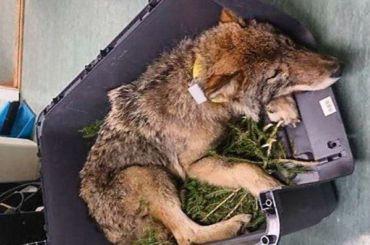 Эстонские рабочие приняли волка засобаку испасли его иззамерзшей реки