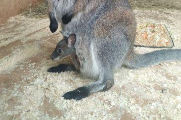 Укенгуру Хлои изЛенинградского зоопарка родился детеныш