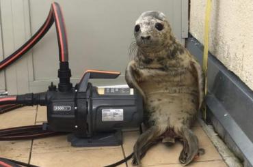 Серый тюлень хотел сбежать изФонда друзей балтийской нерпы