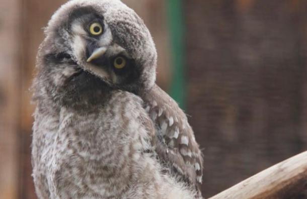Ленинградский зоопарк просит петербуржцев придумать имена птенчикам совы