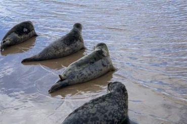 Пять спасенных вПетербурге тюленей выпустили вФинский залив