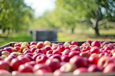Яблоки подорожали почти вдва раза вПетербурге
