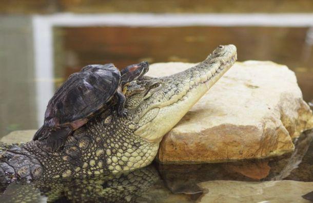 ВЛенинградском зоопарке снова можно увидеть крокодила ичерепах