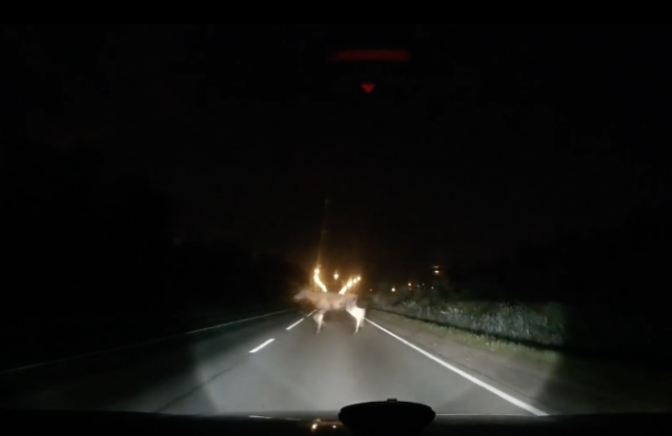 НаГорском шоссе заметили лосей, перебегавших дорогу