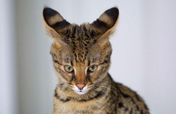Одна изсамых дорогих кошек мира прилетела вПетербург