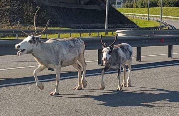 ПоКольцевой дороге бегают олени