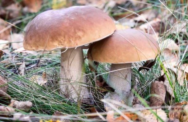 Петербуржцы составили топ-5 самых грибных мест Ленобласти