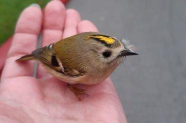 Петербуржец случайно нашел самую маленькую птицу вРоссии иЕвропе