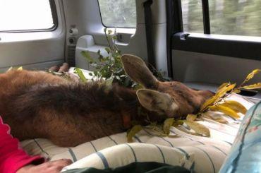 Волонтеры «Велеса» спасли лосенка, которого бросила мать