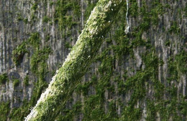 Цветущие вПетербурге водоросли могут быть опасны для человека