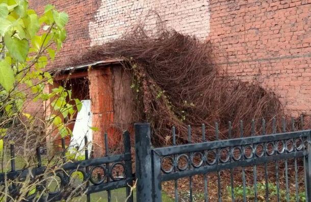 Стена издевичьего винограда рухнула наВасильевском острове