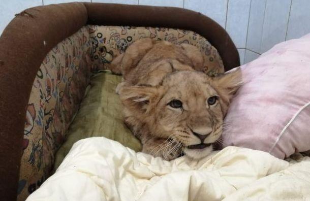Центр «Велес» забрал налечение молодого льва
