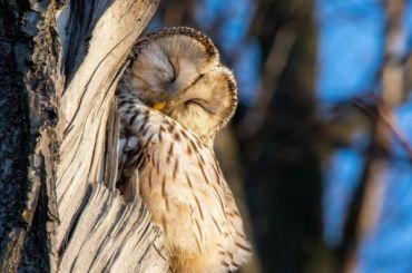 Петербургский фотограф запечатлел спящую сову наЕлагином острове