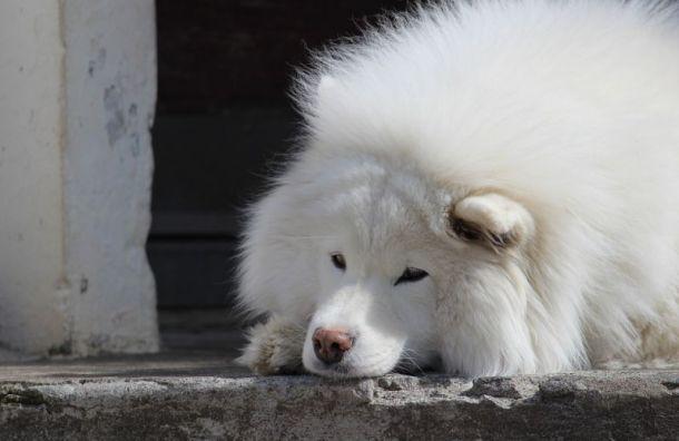 Собака покусала трехлетнего ребенка вТосненском районе Ленобласти