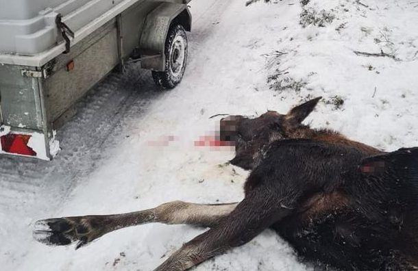 Браконьеры убили четырех лосей вЛенобласти