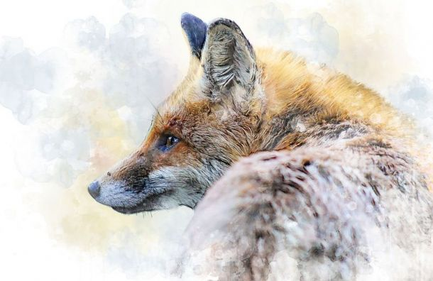 Дикие лисы сприходом холодов стали все чаще выходить вПетербург