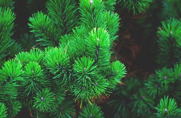 Для жителей Петербурга иЛенобласти открыли пункты сбора новогодних елок