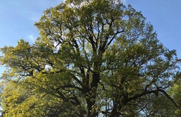 Трехсотлетний дуб на Елагином острове признали памятником живой природы