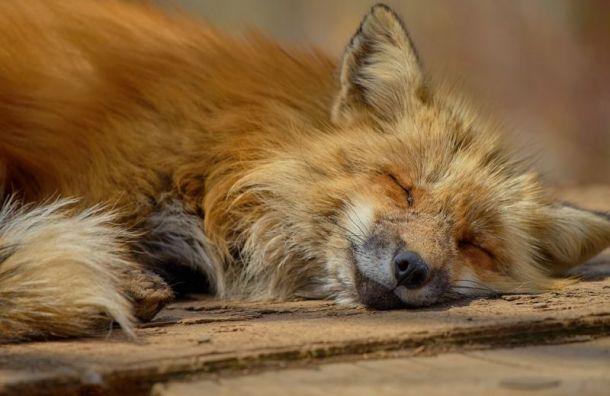 Петербуржцев просят некормить диких лисиц