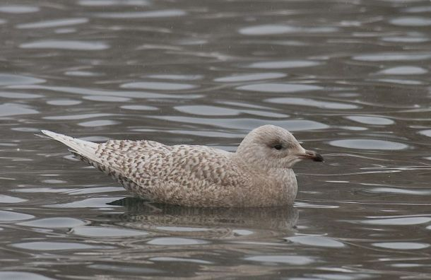 Редкую вРоссии полярную чайку впервые заметили вЛенобласти