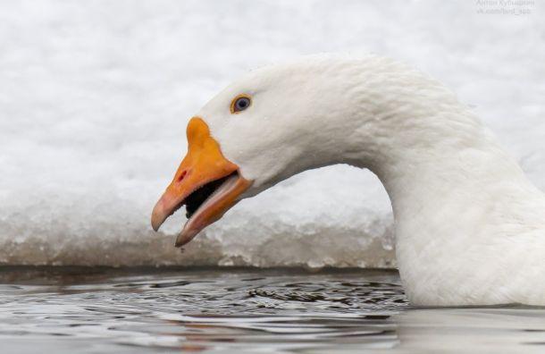 Петербуржец заметил синеглазых гусей наберегу реки Каменки