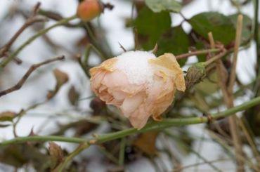 Мороз нипочем: вПетербурге вянваре распустились розы