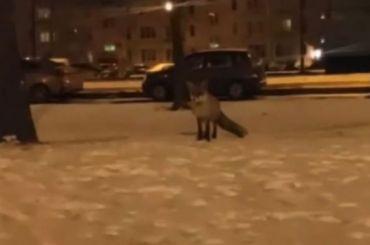 Жители города Колпино заметили лису, бегающую погороду