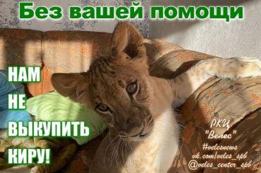 «Велес» собирает деньги навыкуп увладельца львицы Киры