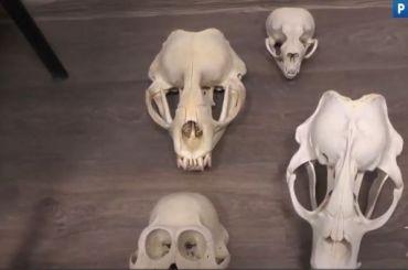 МВД показало пропавшие изЗоологического музея РАН черепа
