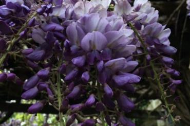 ВБотаническом саду зацвели глицинии, посмотреть можно будет всего неделю